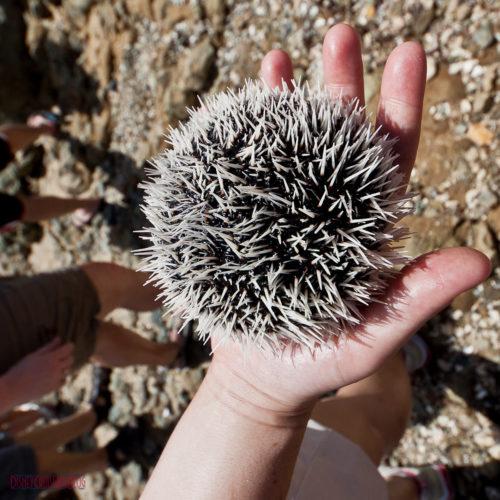 Bernard's Tours - Observatory of Coralita - Sea Urchin