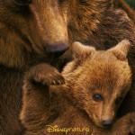 Disneynature Bears Movie Poster