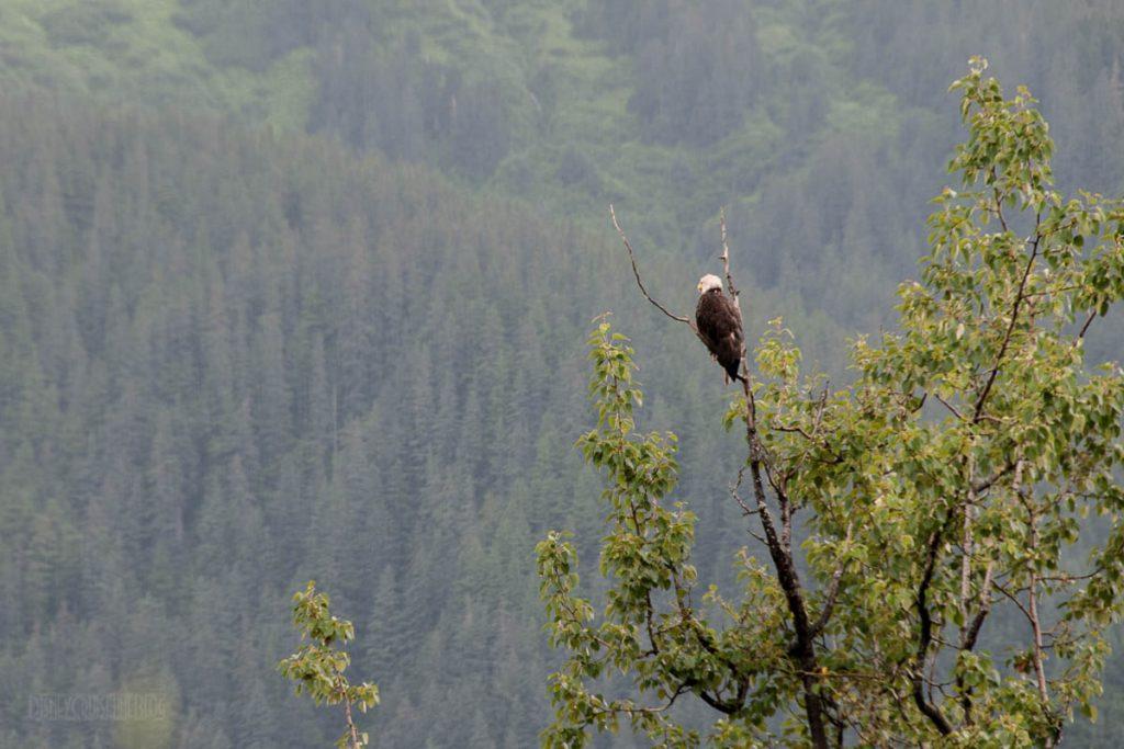 Mendenhall Glacier Bald Eagle