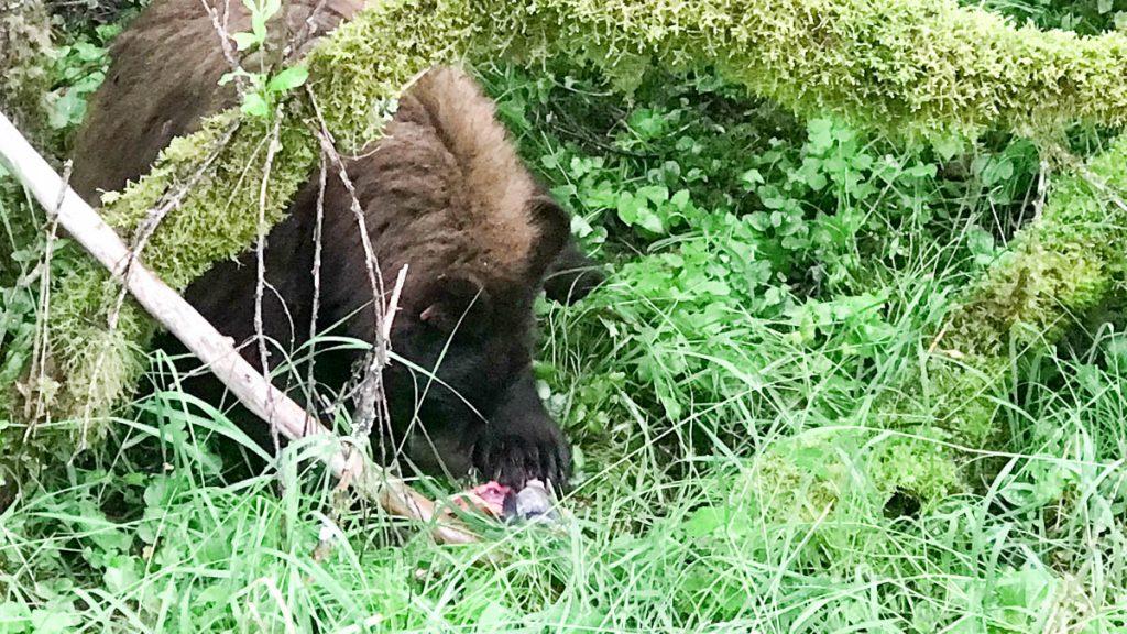 Mendenhall Glacier Steep Creek Trail Bear 25 Nikki