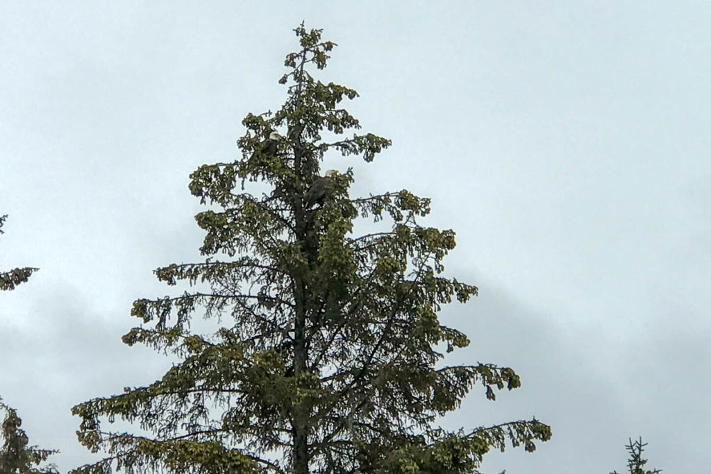 Icy Strait Point Bald Eagles