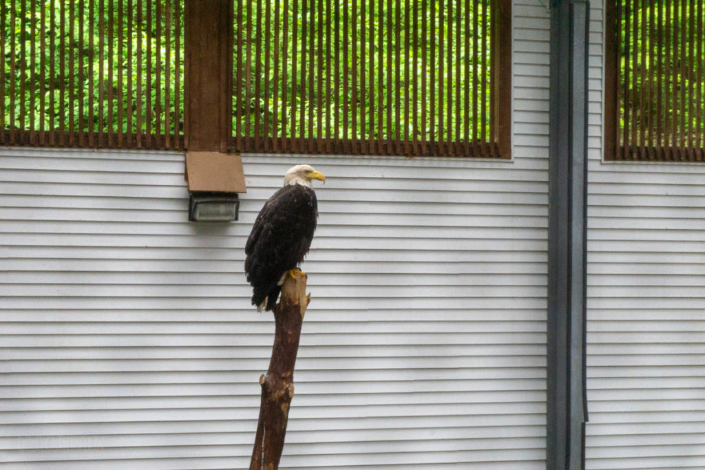 Sitka Alaska Raptor Center Bald Eagle Training Center