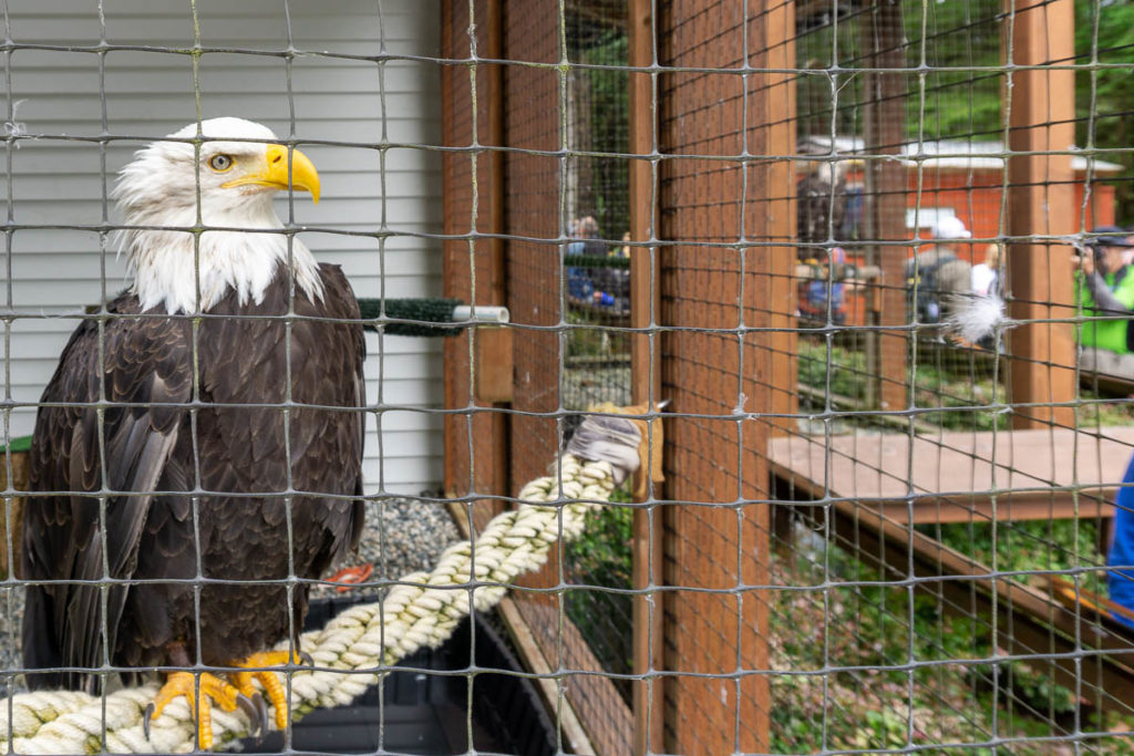 Sitka Alaska Raptor Center Bald Eagle