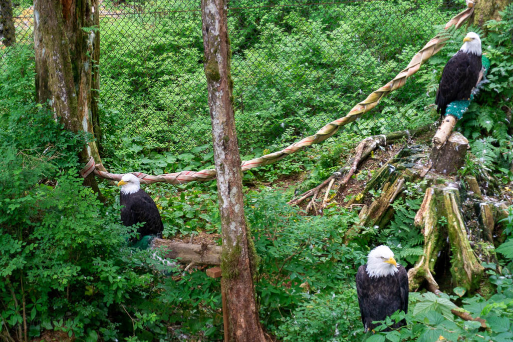 Sitka Alaska Raptor Center Bald Eagles