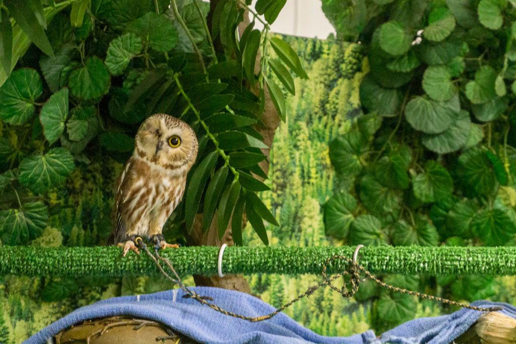 Sitka Alaska Raptor Center Owl Tito