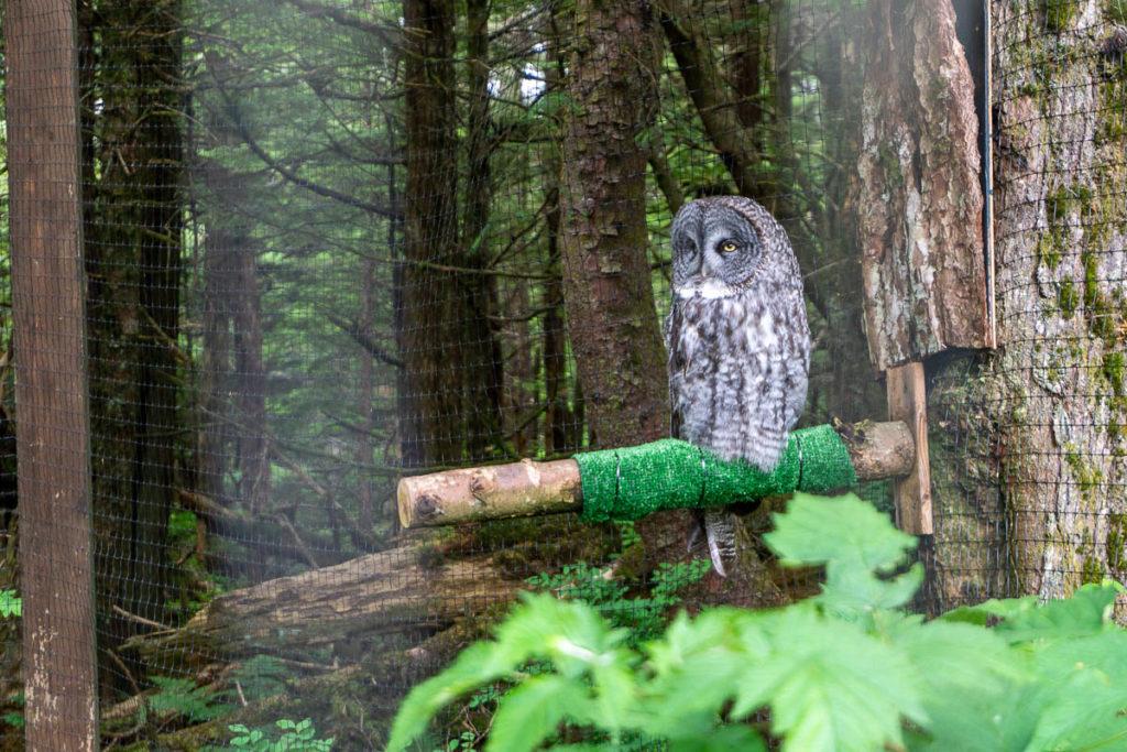 Sitka Alaska Raptor Center Owl