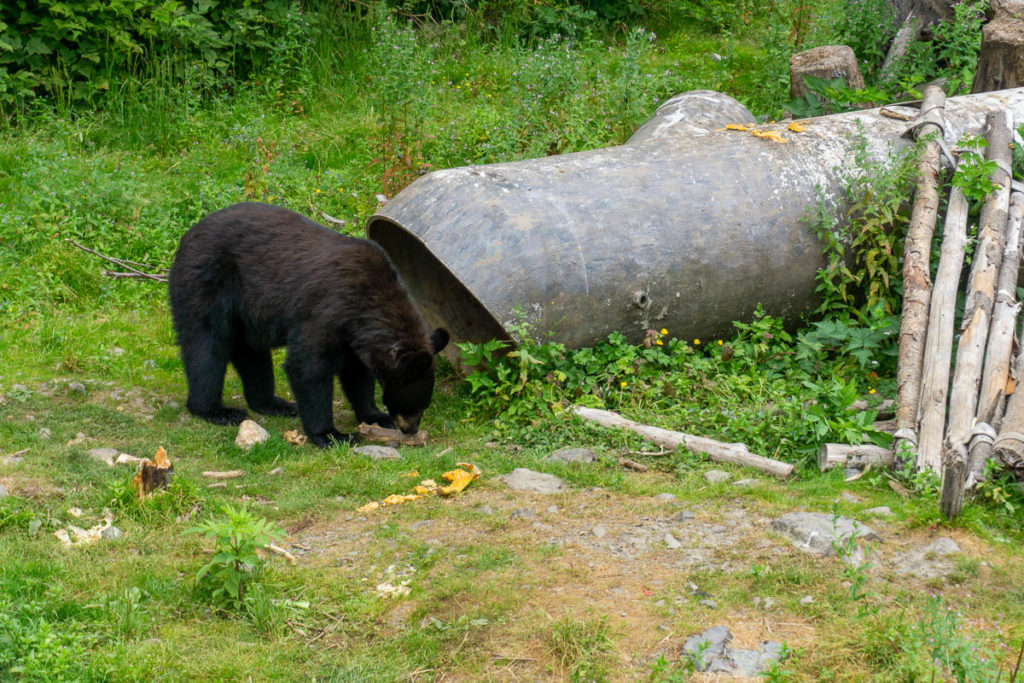 Sitka Fortress Of The Bear Black Bear