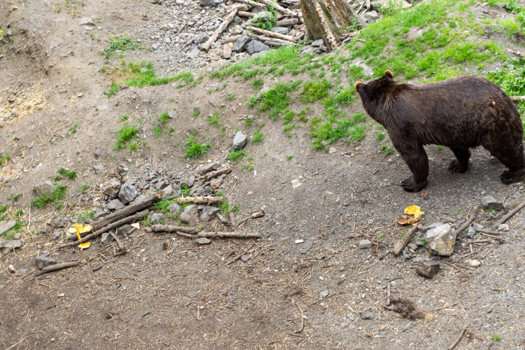 Sitka Fortress Of The Bear Brown Bear