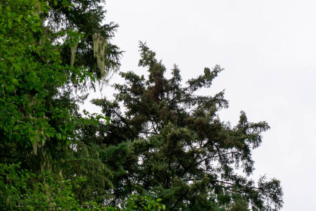 Sitka National Historical Park Indian River Bald Eagle