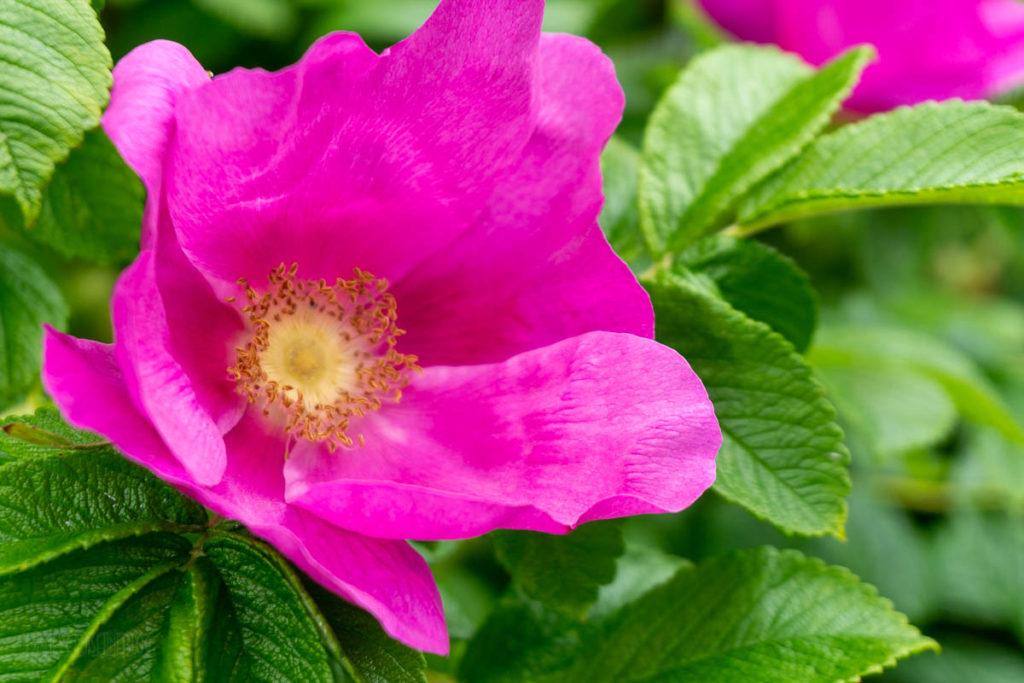Sitka National Historical Park Sitka Rose